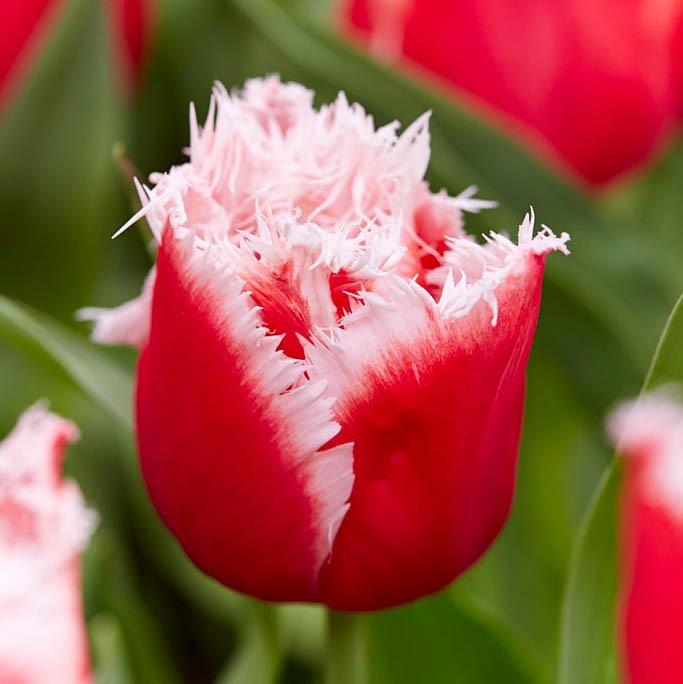 тут тюльпаны махровые фото проделать эти манипуляции