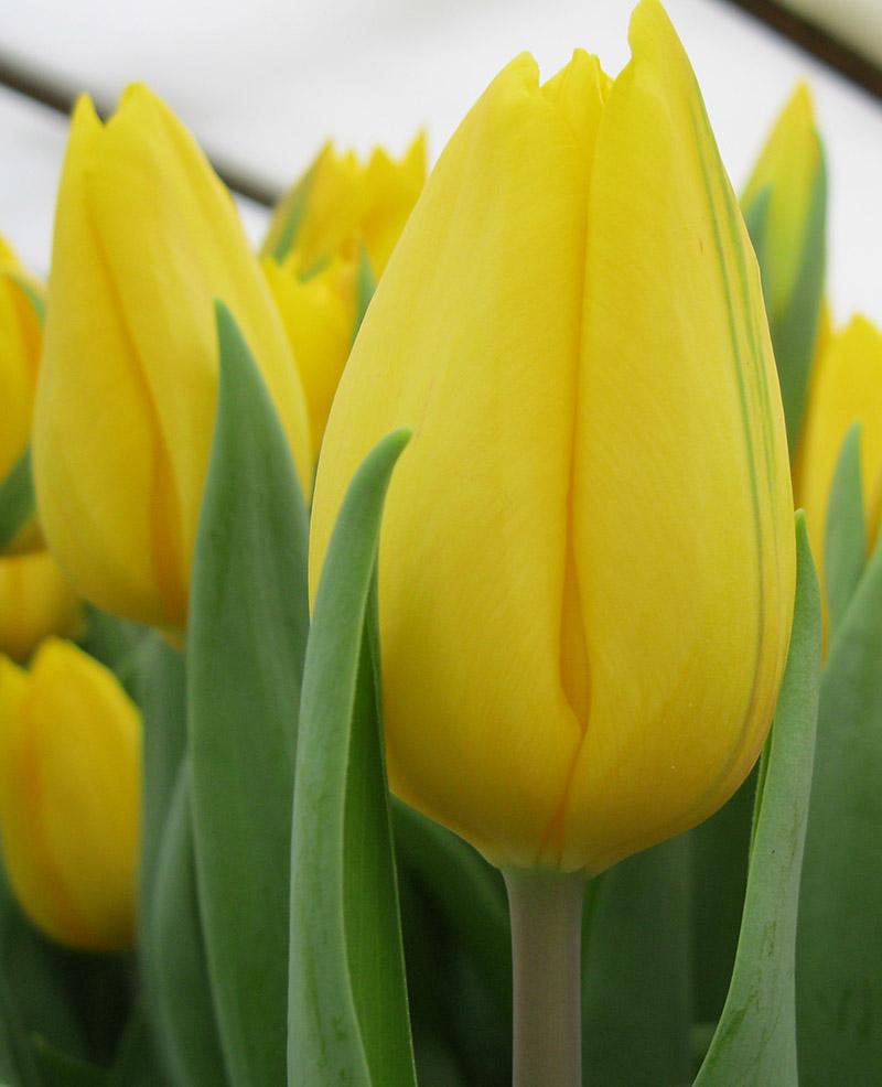 мне золотые тюльпаны фото передается комплектном